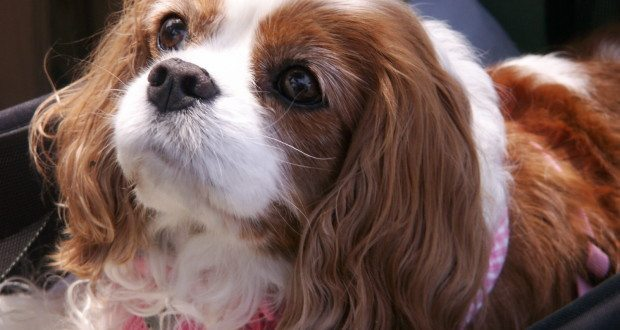 """The Smiths brought along their 11-year-old Cavalier King Charles Spaniel, """"Lady."""""""