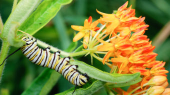 A monarch caterpillar feeding on butterfly milkweed
