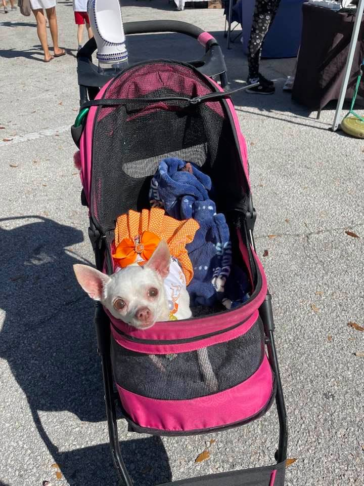 A small dog in a baby stroller