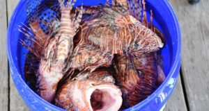 Lionfish in bucket_Courtesy of the FWC