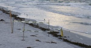 The eggs in a loggerhead nest barely above the high-tide mark could be destroyed if the water rises much higher.